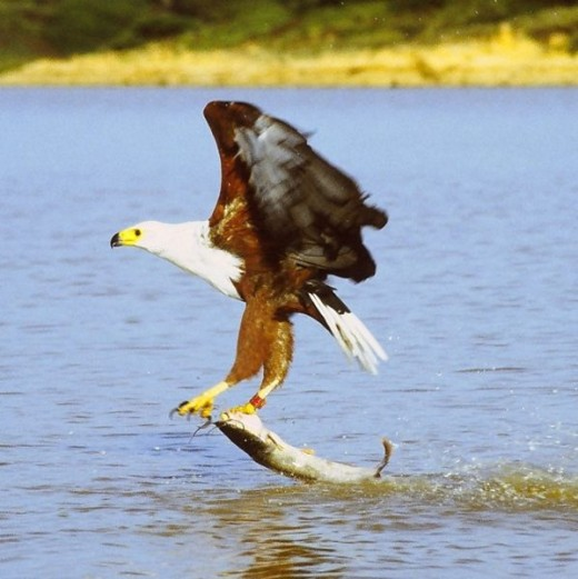 African Fish Eagle just caught a cat fish in Lake Baringo, Kenya By Mehrnet Karatey CC BY-SA 3.0