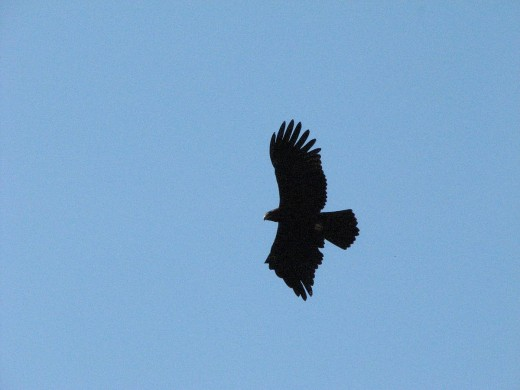 Black Eagle By Rohet Naniwadadekar CC BY-SA 3.0