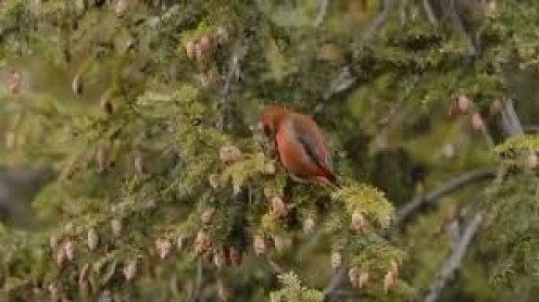 Red Crossbill feeding on one or more cones in a tree.