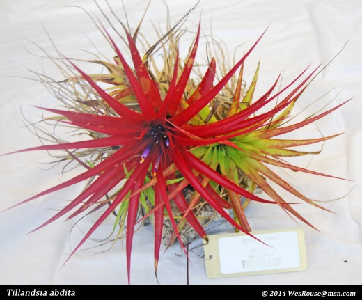 Some tillandsias are small and tufted with colorful leaves and an almost insignificant inflorescence.  This little fellow would really dress up a nicely planted terrarium.