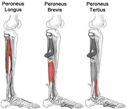 Peroneus Muscle