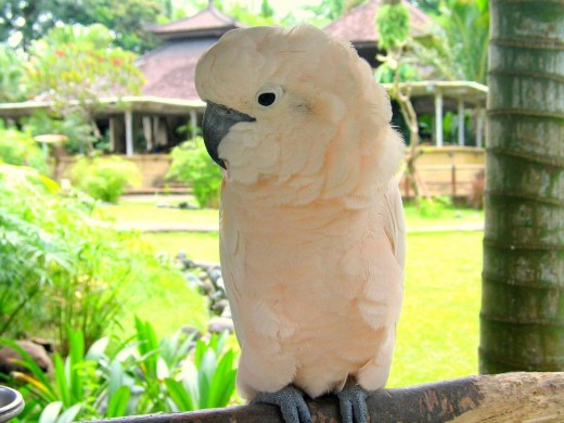 Moluccan Cockatoo from Indonesia Courtesey of www.irajar24A.com  CC BY-SA 2.0