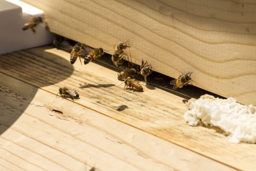 Field bees returning home.