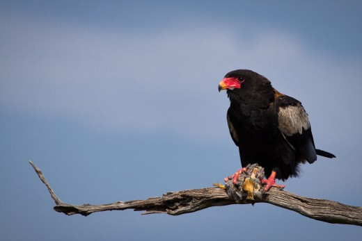 The Bateleur with kill By Tony Hiagett CC BY-SA 2.0