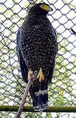 Andaman Serpent Eagle By TR Sharker Ramen CC BY-SA 4.0