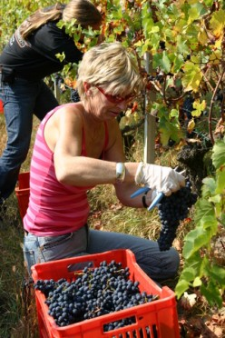 A wine picker in a Roero vineyard