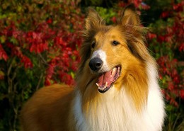 """Even """"Lassie,"""" made a cameo appearance on CHiPs"""