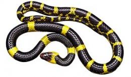 Black Yellow Snake, non-toxic