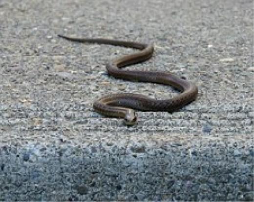 Garter snake, non- toxic