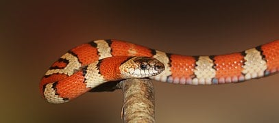 Red banded King snake, non- toxic