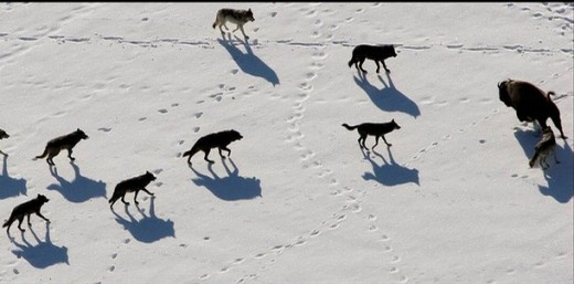 A pack of wolves hunting a bison.