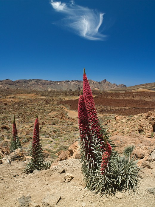 Red Mount Teide bugloss (Echium wildpretii), Tenerife, Spain