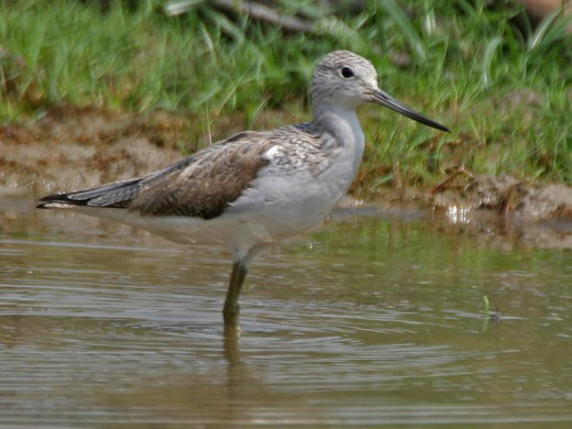 Common Greenshank Wading Bird By J.M. Garg CC BY-SA 3.0