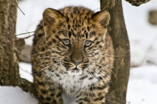 The now endangered Amur leopard.