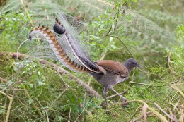 Superb Lyrebird in Victoria, Australia By Fir 0002 GEDL 1.2