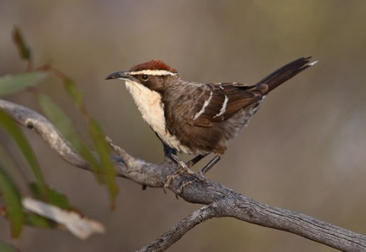 Chestnut-crowned Babbler By Chris Tzaroa CC BY-SA 3.0