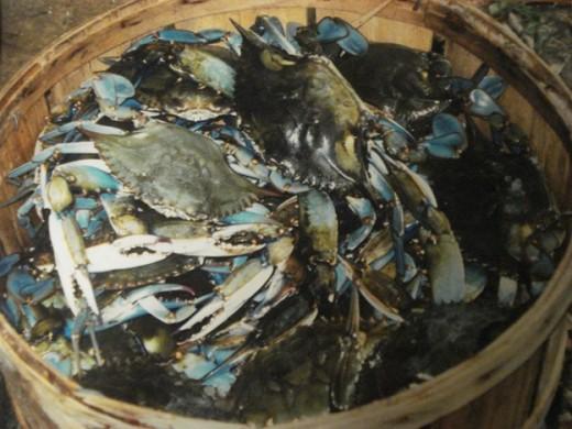 A Basket Load of Live Blue Crabs or a Bushel of Crab!