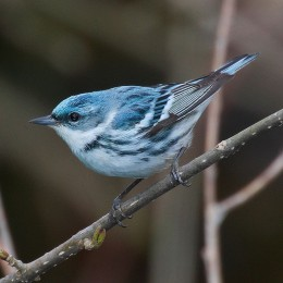 Cerulean Warbler Rondeau Provincial Park, Ontario, Canada By Mdx cc BY-SA 3.0