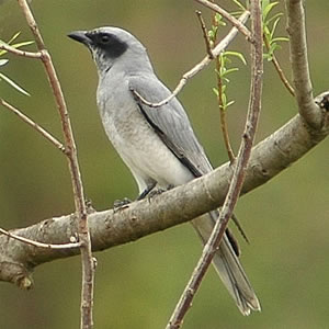 Black-faced Cuckoo Shrike By Brett Donald CC BY-SA 2.0