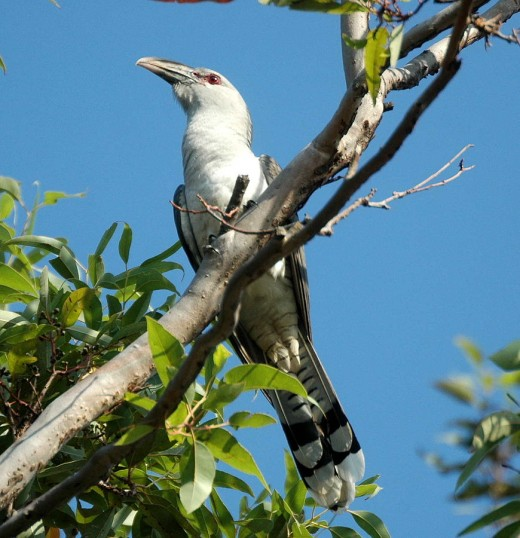 Channel-billed Cuckoo By Airceda CC BY-SA 3.0