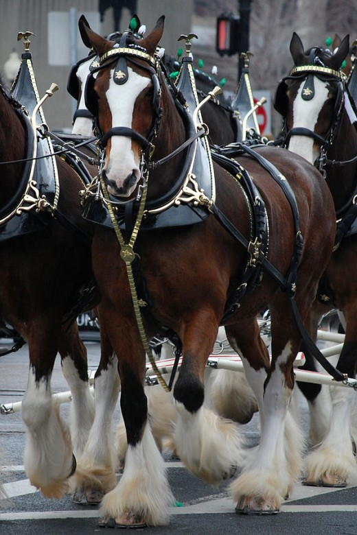 The Budweiser Clydesdales By Paul Keteker CC BY-SA 2.0