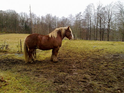 Swedish Ardennes Horse By Jacob Rask CC BY-SA 2.0