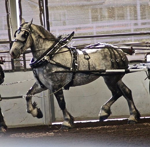 Percheron Horse By Just chaos CC BY-SA 2.0