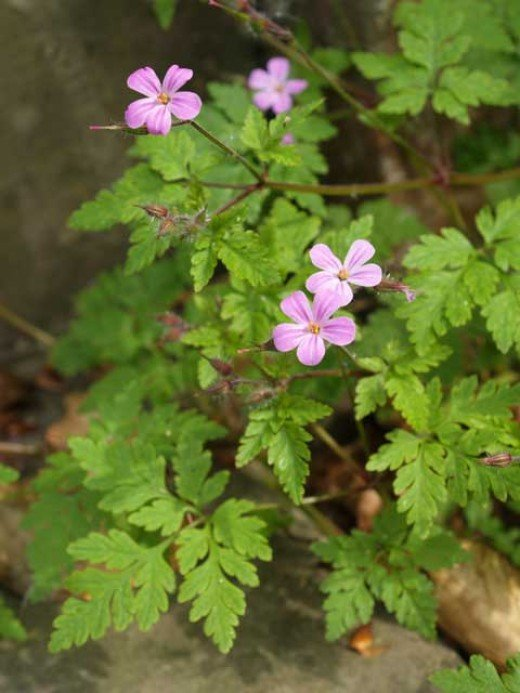 Five petals on the either pink or sometimes white flowers, accompanied by beautiful patterns on the leaves & hairy purple stems