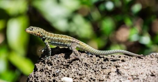 Close-up of an exemplar of Galapagos lava lizard (Microlophus albemarlensis) in Santa Cruz Island, Galapagos Islands, Ecuador