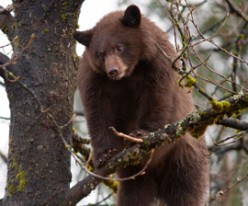 Bear Hounding: Why it's Unnecessary, Unfair, and Downright Cruel