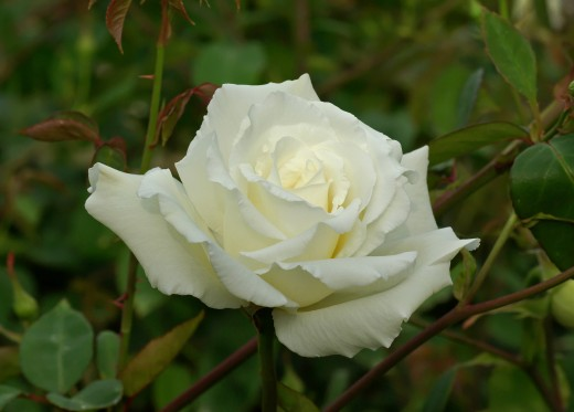 Mrs. Herbert Stevens Hybrid Tea Rose