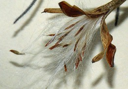 Tillandsia seeds being expelled from capsule