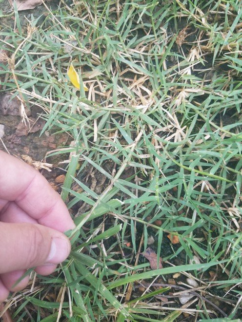 Bermudagrass sprig from existing Bermudagrass