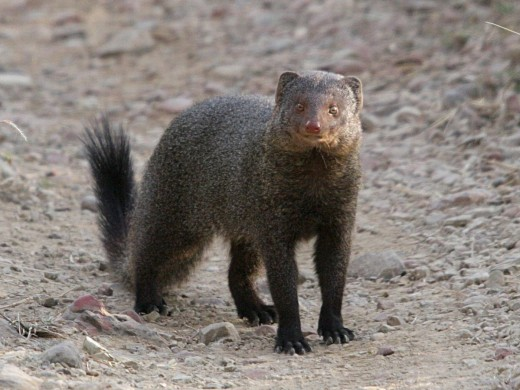 Ruddy Mongoose By ChrisHodgesUK CC BY-SA 3.0