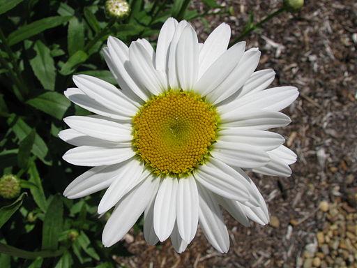 Chrysanthemum superbum 'Becky'