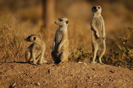 Meerkat By Jonchem Huber CC BY-SA 2.0