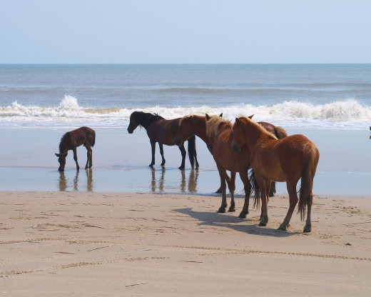 Banker Horse Herd by Joye CC BY-SA 2.0