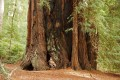 How Thirsty Redwoods Survive Rainless Months of the California Summer