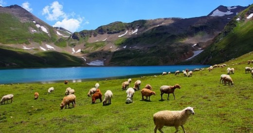 Goats and Sheeps of Gilgit Baltistan, Pakistan