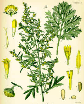 Wormwood Plant - vital for the creation of absinthe.