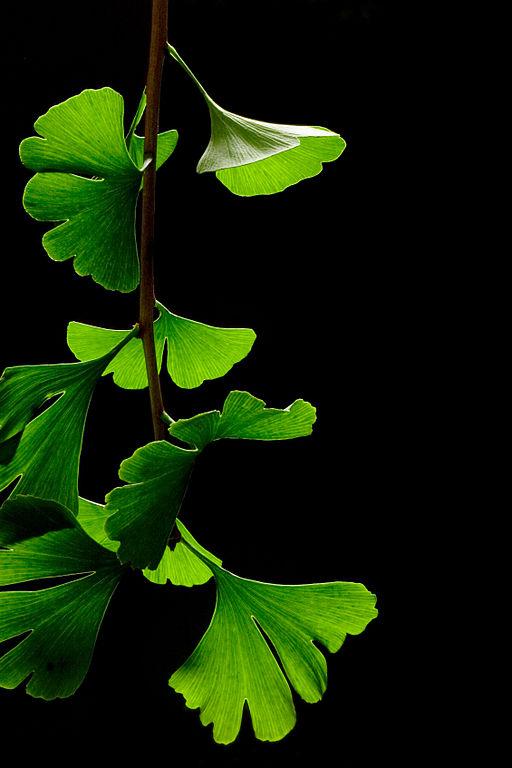 Ginkgo Biloba leaves, by James Field