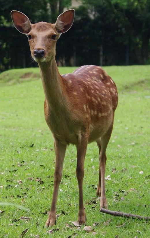 Sikia Deer By Jakub Haleen CC BY-SA 3.0