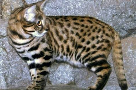 The Black Footed Cat