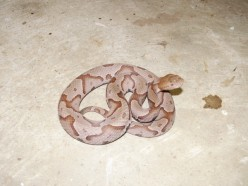 A Copperhead has some color similarities to the Corn Snake pictured below.