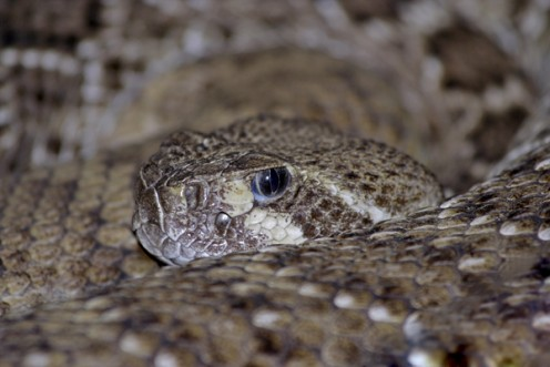 The vertical pupil of a poisonous pit viper.