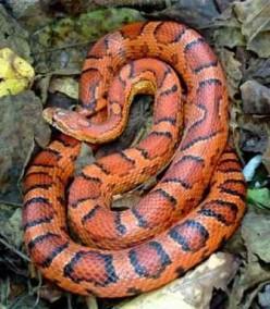 A Corn Snake.
