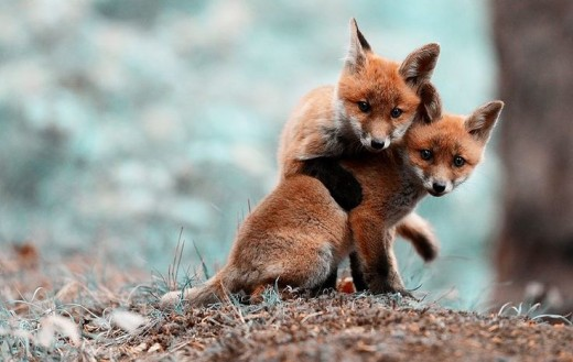 Brother Fox hugs Sister Fox