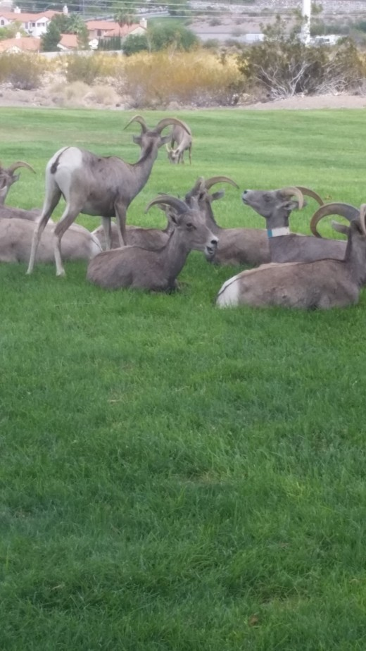 Wild Bighorn Sheep of Hemenway Park