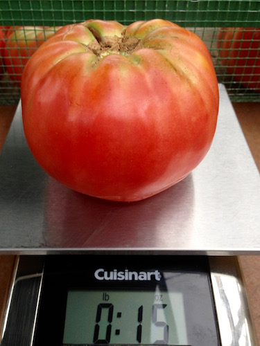 Grow the biggest tomato in the neighborhood with consistent watering and do not over fertilize.