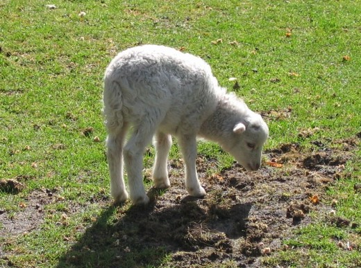 Lamb in Nunspeet, the Netherlands